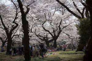 小金井公園の桜