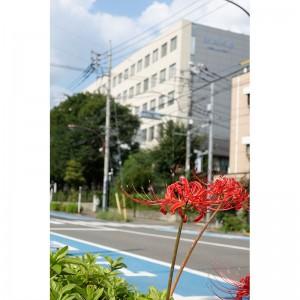 大学の前でも彼岸花が咲いています
